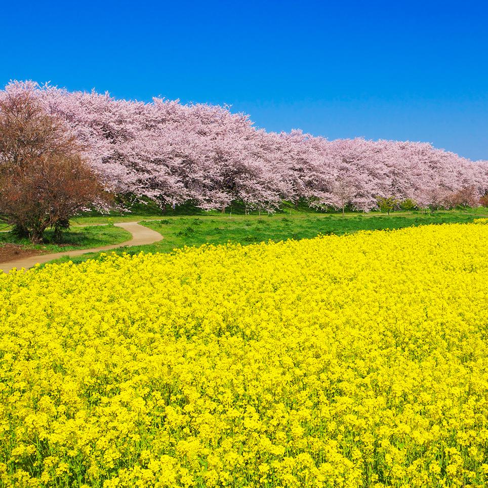 桜と菜の花、青空が三位一体とな...